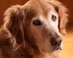 olddog